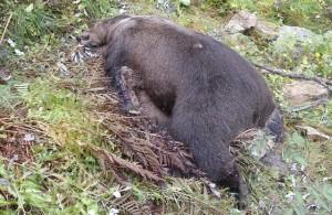 Uccisa l'orsa Daniza, l'anestesia è stata fatale