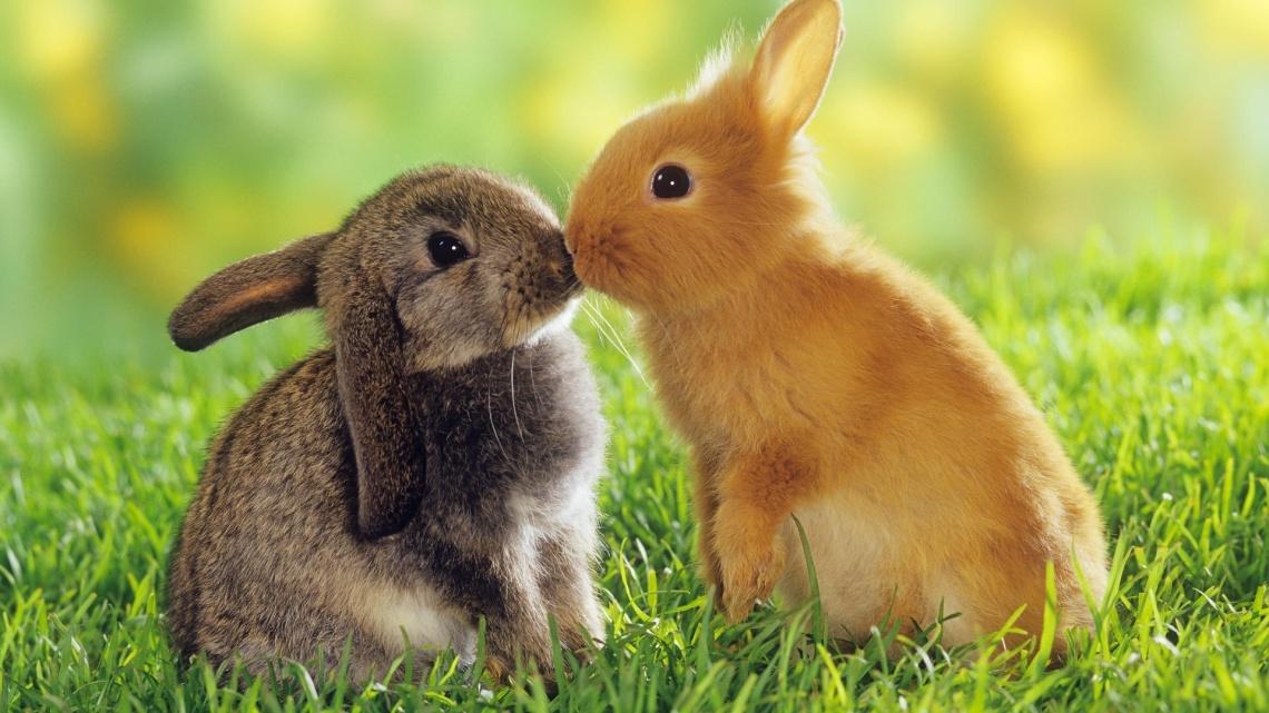 bacio_tra_conigli