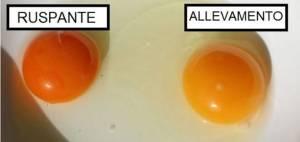 uova-allevamento
